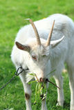 White goat head. As nice portrait of farm animal Royalty Free Stock Photo