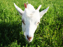 White goat head head. White goat head zoo head Royalty Free Stock Photo