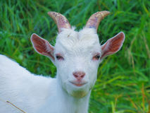 White goat home. From the front Stock Photography