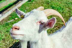 White goat with horn stock photography