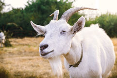 White goat with horns closeup royalty free stock photo