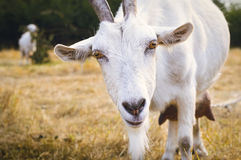 White goat with horns looking into the camera Stock Photos
