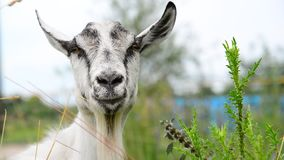White goat without horns in nature