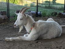 White goat with horns resting on a summer day taking a nap on a farm stock photo
