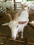 White goat with horns in wooden barn Royalty Free Stock Image
