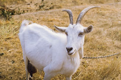 White goat with horns on a yellow field Stock Images