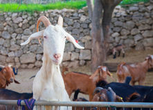White goat hunting food Royalty Free Stock Image