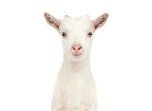 White goat isolated. On white background stock photography