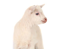 White goat isolated Royalty Free Stock Photo