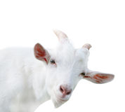 White goat, isolated, close up. White goat, isolated on white background, close up stock photography