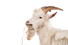 White goat isolated on white background. Beautiful, cute, young white goat isolated on white background stock photography