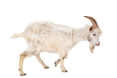 White goat isolated on white background. Beautiful, cute, young white goat isolated on white background royalty free stock image