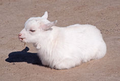 White goat kid Royalty Free Stock Photo