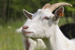 White goat kid. A baby white goat in the small farm. White goat in a meadow of a goat farm. White goat in the small farm. White goat in a meadow of a goat farm Royalty Free Stock Photos