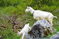 White Goat and Kid. White goat with bell and with kid on a rocky mountain-side in Norway Stock Image