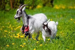 White goat with a kid on a field Stock Photo