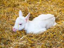 White goat kid lying on a straw. Young farm animal Stock Images