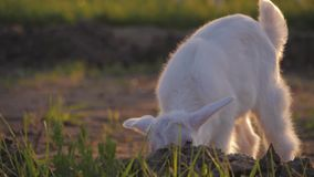 White goat kid on a meadow. The concept of goat milk and livestock farming. stock footage
