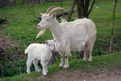 White goat and kid Stock Photo