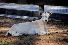 White Goat. A white goat laying in the shade Stock Photos