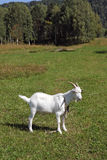 White goat on a leash Stock Image