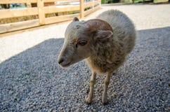 White goat in livestock Stock Photos