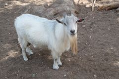 Goat Long Beard and Horns Royalty Free Stock Photography