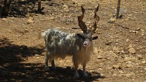 White goat with twisted horns in Sicily. A white goat with long twisted horns in Sicily near Agrigento royalty free stock image