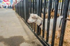 White Goat Looking Around Royalty Free Stock Photo