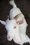 White goat Royalty Free Stock Photography