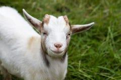 White goat Royalty Free Stock Photos