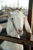 White Goat Farm Animal Royalty Free Stock Photo