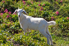 White goat in lush pasture Royalty Free Stock Image