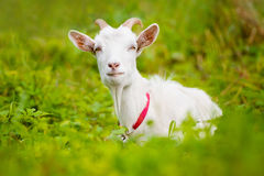 White goat lying down Royalty Free Stock Images