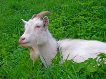 White goat is lying in the grass on the meadow Royalty Free Stock Photo
