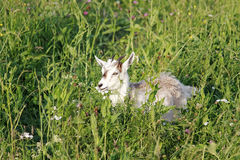 white goat lying on a green meadow among the beautiful flowers Royalty Free Stock Photos