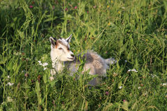 White goat lying on a green meadow among the beautiful flowers Stock Photos
