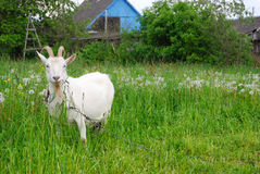 White goat on a meadow. The white goat eats a grass on a meadow Royalty Free Stock Photo