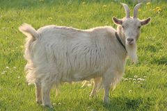 White goat in meadow. White goat in green meadow Royalty Free Stock Image
