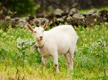 White goat on a meadow Royalty Free Stock Photos