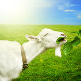 White goat on a meadow Stock Photos