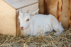 White goat near the wooden structures Royalty Free Stock Photo