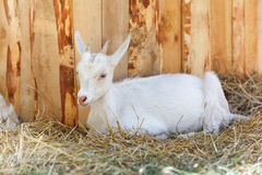 White goat near the wooden wall Stock Images