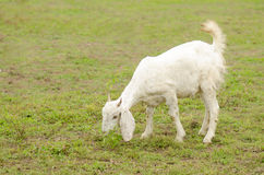 White goat on a pasture Royalty Free Stock Image