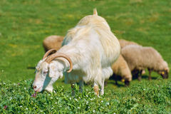 White She-Goat on the Pasture Stock Photos