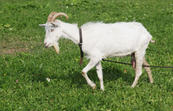 White goat on the pasture. With green grass Royalty Free Stock Photography
