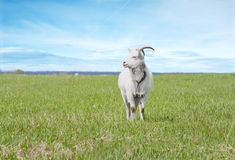 White goat on pasture Royalty Free Stock Images
