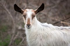 White goat on a pasture. White goat standing on a pasture, Greece Stock Photos