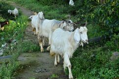White Goat In Pathways Of Agricultural Fields In Rural Indian Villages