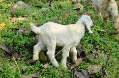 White Goat In Pathways Of Agricultural Fild In Rural Indian Villages
